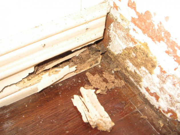 Termites attacking skirting boards
